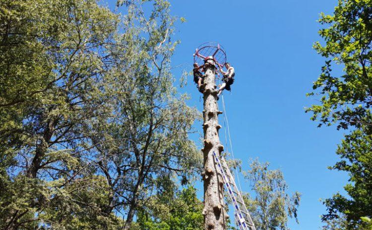 Pose de nid à Cigognes